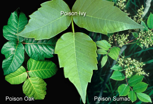 poison oak rash. In general, poison oak grows