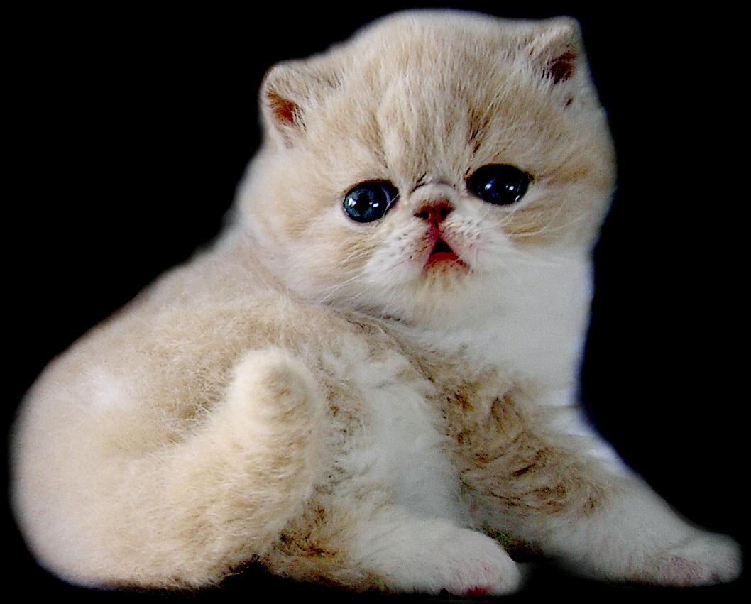 Mengenal Ras Varieti Kucing Peliharaan Paling Popular Sitiks Blog
