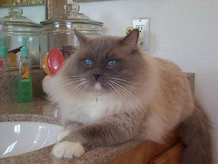 cat ragdoll