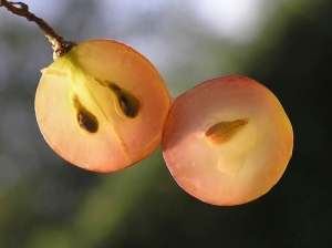 grapeseed3[1]